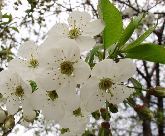 Flowers_of_Pear_Tree